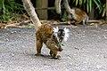 Lemur (36915869720).jpg