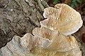 Lenzites betulina - Multicolored Gilled Polypore.jpg