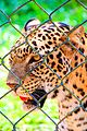 Leopard IMG 0664.jpg