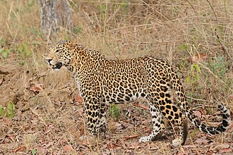 Indian leopard - Indian leopard in Satpura National Park