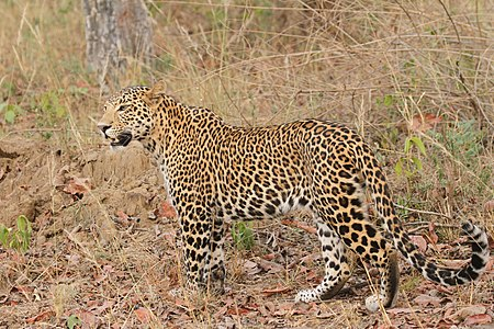 Leopards Davidraju 39.jpg