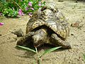 Leopards tortoise entire2.jpg
