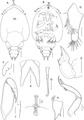 Lepeophtheirus elegans parasite130014-fig6.tif