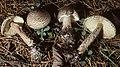 Lepiota cortinarius J.E. Lange 72953.jpg