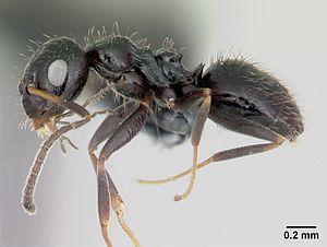 Präparierte Lepisiota canescens-Arbeiterin