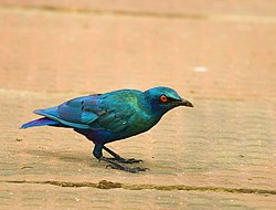 Lesser Blue-eared Glossy-starling.jpg