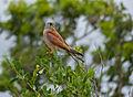 Lesser Kestrel (Falco naumanni) male (12819561304).jpg