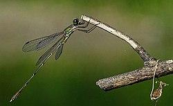 Lestes parvidens - mužjak 1.jpg