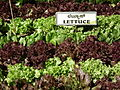 Lettuce from lalbagh 2293.JPG