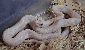 Leucism - Image: Leucistic Texas Rat Snake