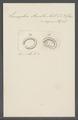 Leucophra armilla - - Print - Iconographia Zoologica - Special Collections University of Amsterdam - UBAINV0274 113 16 0033.tif