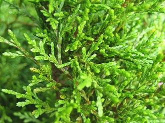 Libocedrus bidwillii - Image: Libocedrus Bidwillii