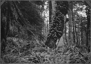 Licorice Root Fern - NARA - 299026