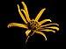 Ligularia dentata Desdemona20150930 4044.jpg