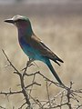 Lilac breasted roller in Tanzania 0559 cropped1 Nevit.jpg