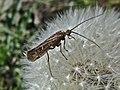 Limnephilus affinis (Limnephilidae) - (imago), Elst (Gld), the Netherlands - 2.jpg