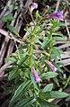 Limnophila aromatica 05.JPG