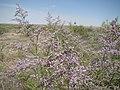 Limonium Baikonur 01.jpg