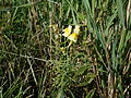 Linaria vulgaris - 02.jpg