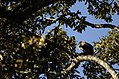 Lion-tailed macaque on cullenia exarillata in Anamalai Tiger Reserve JEG1748.JPG