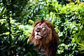Lion King of the Jungle.jpg
