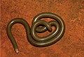 Liotyphlops beui.jpg