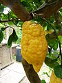 Lipari-Citrons (2).jpg