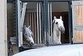 Lipizzaner stables (14091652933).jpg