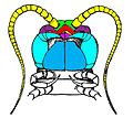 Lithobius ventral head1.jpg