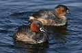 Little Grebe (or Dabchick), Tachbaptus ruficollis, at Marievale, Nature Reserve, Gauteng, South Africa (28807822473).jpg