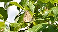 Little Wood Satyr (Megisto cymela) - Guelph, Ontario.jpg