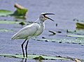 Little egret ചിന്നമുണ്ടി 01.jpg