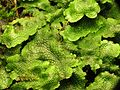 Liverwort - Flickr - treegrow (3).jpg
