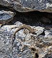 Lizard on rock wall.jpg