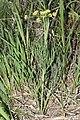 Lomatium triternatum 9527.JPG
