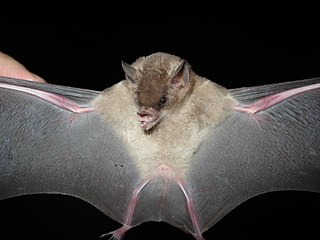 Dekeysers nectar bat
