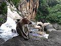 Lone monkey at chambadevi.jpg