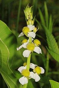 Long-beaked Arrowhead - Sagittaria australis, Prince William Forest Park, Triangle, Virginia.jpg