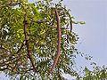 Long-pod Cassia (Cassia abbreviata) (11451870134).jpg