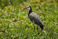 Long-toed Lapwing - Mara - KenyaIMG 4271.jpg
