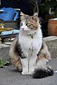 Long hair calico cat with a green bell-Hisashi-01.jpg