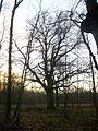 Lopre oak Puise.jpg