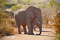 Loxodonta africana00.jpg