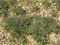 Lupinus angustifolius (plants).jpg
