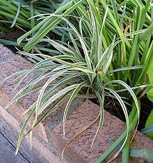 Liriope Plant Wikipedia