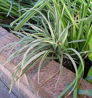 Liriope spicata (creeping lilyturf) A young va...