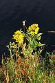 Lysimachia vulgaris in Nationaal Park De Alde Feanen, Locatie It Wikelslân 032.jpg