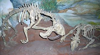 Thylacosmilus - Two reconstructed skeletons mounted in fighting pose, Museum of Paleontology Egidio Feruglio