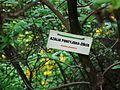 MOs810 WG 29 2017 Opolskie Zakamarki (in Arboretum Lipno) (Azalea pontica).jpg