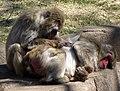Macaque Grooming (3432695816).jpg